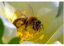 Способность пчёл заранее определять, в каких цветках пыльца лучше