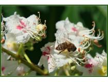 Мёд каштановый: пчелиный ЭКСКЛЮЗИВ!