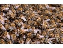 Лечебные свойства пчелиного подмора: природа на страже здоровья!