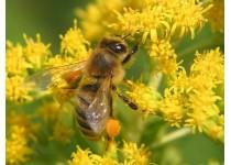 Пыльца пчелиная в Москве. Противопоказания к применению