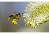 Пыльца пчелиная. Польза и вред