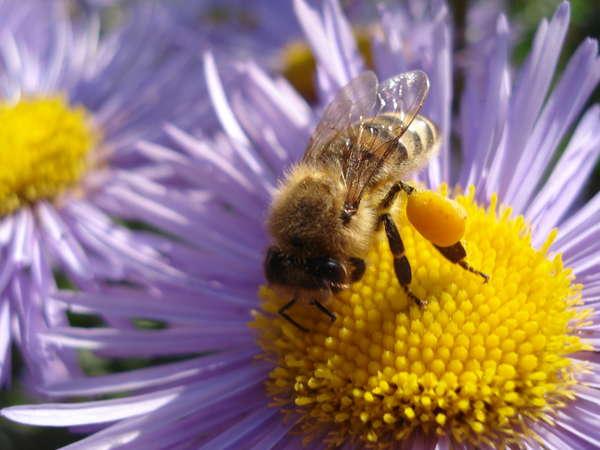 Пчела с пыльцой в обножке